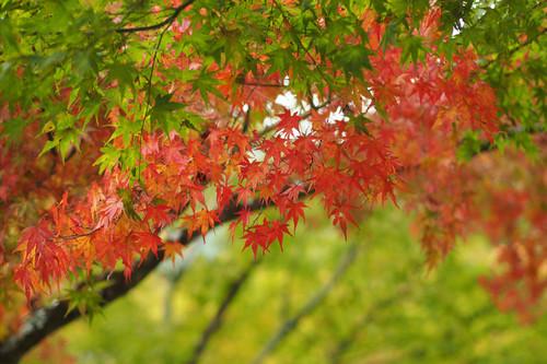 紅葉 in香嵐渓